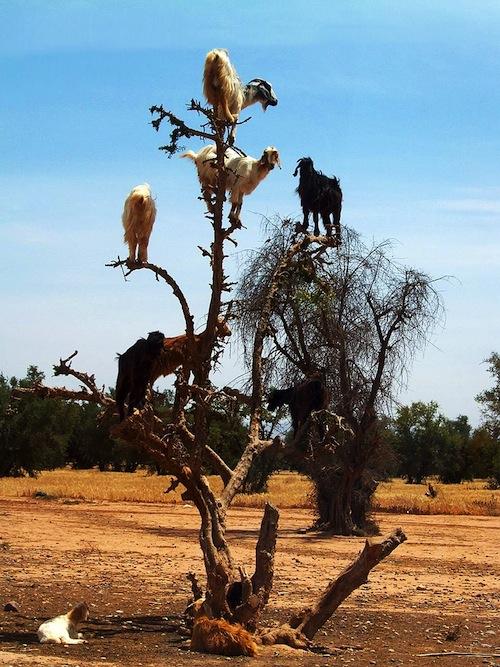 Think like a goat 2