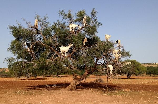 Think like a goat